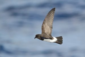 White-bellied_Storm-Petrel